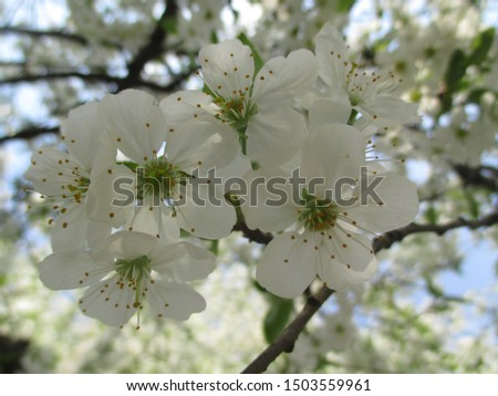 Spring. The gardens are blooming. Blooming trees. Cherries, pears bloom. #1503559961