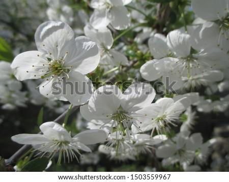 Spring. The gardens are blooming. Blooming trees. Cherries, pears bloom. #1503559967