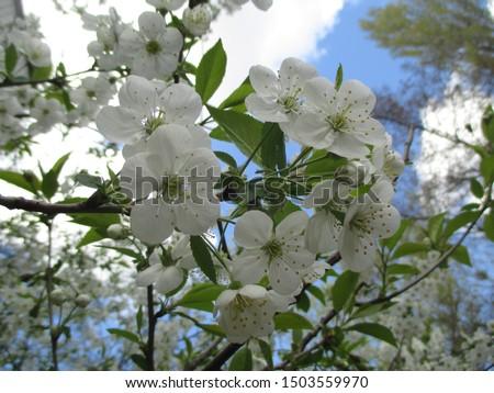 Spring. The gardens are blooming. Blooming trees. Cherries, pears bloom. #1503559970