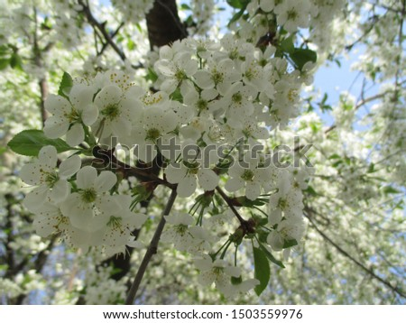 Spring. The gardens are blooming. Blooming trees. Cherries, pears bloom. #1503559976