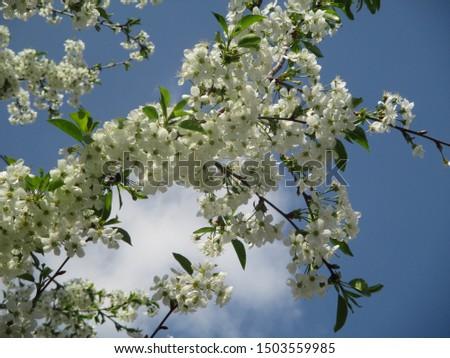 Spring. The gardens are blooming. Blooming trees. Cherries, pears bloom. #1503559985