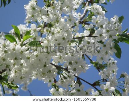 Spring. The gardens are blooming. Blooming trees. Cherries, pears bloom. #1503559988