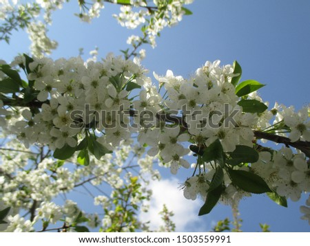 Spring. The gardens are blooming. Blooming trees. Cherries, pears bloom. #1503559991