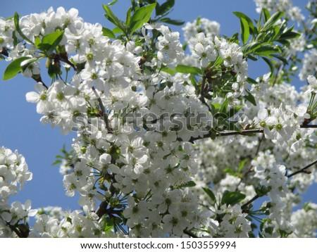 Spring. The gardens are blooming. Blooming trees. Cherries, pears bloom. #1503559994