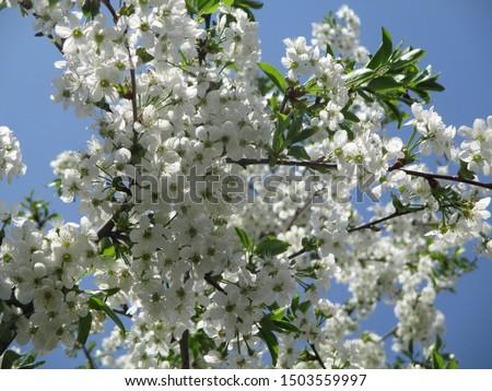 Spring. The gardens are blooming. Blooming trees. Cherries, pears bloom. #1503559997