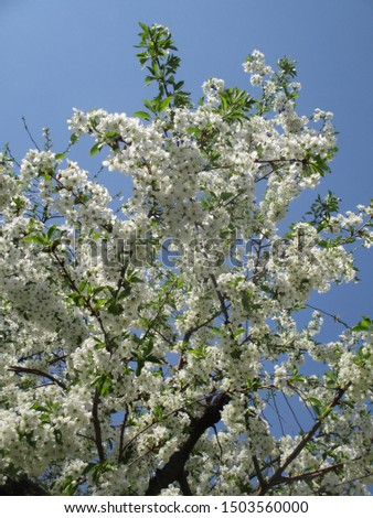 Spring. The gardens are blooming. Blooming trees. Cherries, pears bloom. #1503560000