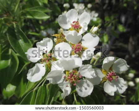 Spring. The gardens are blooming. Blooming trees. Cherries, pears bloom. #1503560003