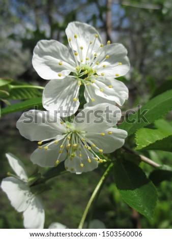 Spring. The gardens are blooming. Blooming trees. Cherries, pears bloom. #1503560006