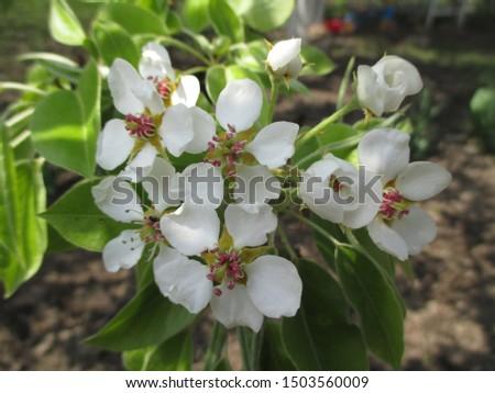 Spring. The gardens are blooming. Blooming trees. Cherries, pears bloom. #1503560009