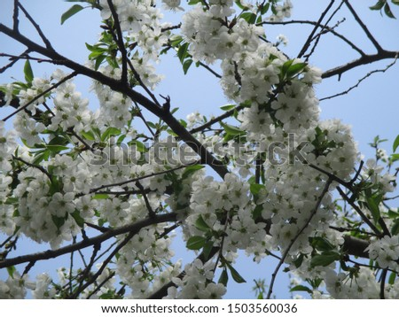 Spring. The gardens are blooming. Blooming trees. Cherries, pears bloom. #1503560036