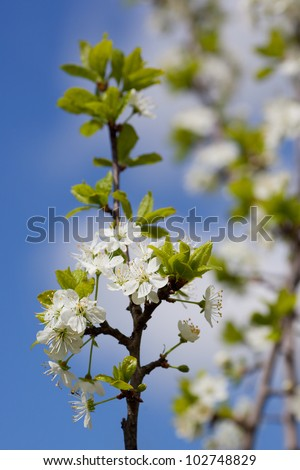 Spring Time - a cherry tree branch with flowers