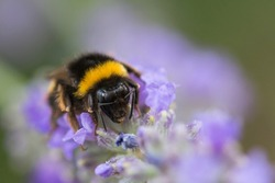 Spring time. bumblebee on purple lavender flowers. Black and yellow arthropod eating on a violet flower
