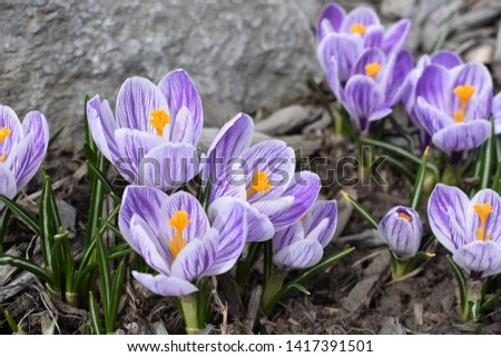 Spring time crocus are a welcome sight! #1417391501