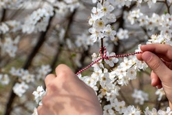 Spring time, hello spring concept. Child ties red and white thread on flowering twig, welcoming beginning of spring. Martenitsa is symbol of March 1. Selective focus.