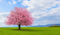 Spring time in nature with blooming tree. Blossoming cherry sakura tree on a green field with a blue sky and clouds.