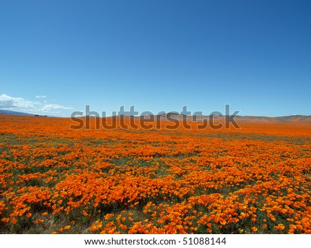 Spring time in the California Poppy fields.  A perfect place for a nap.