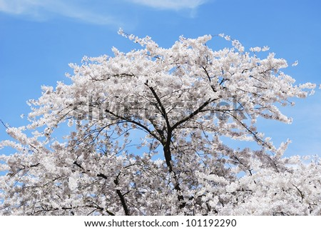 Spring time with a flowering cherry tree and blue sky