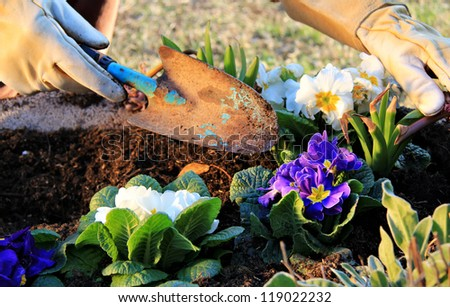 Spring time work outdoor , cultivate  primroses in a garden pot with little shovel and leather gloves.