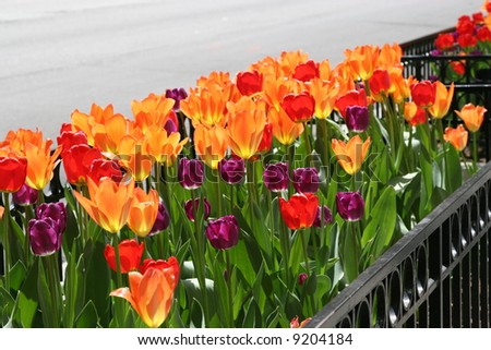 Spring Tulips in a Flower Bed in the city