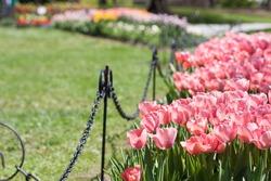 Spring tulips in bloom in Washington Park, for the Tulip Festival in Albany, NY