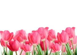 Spring tulips isolated on white background.