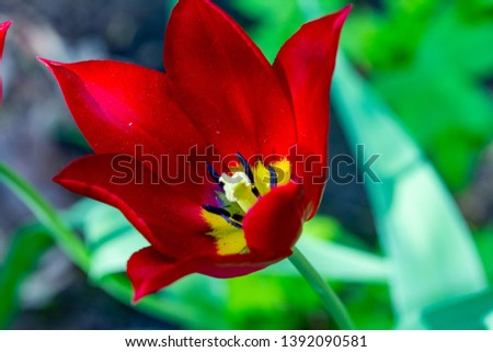 spring tulips Red Shine ' (Red Shine) #1392090581