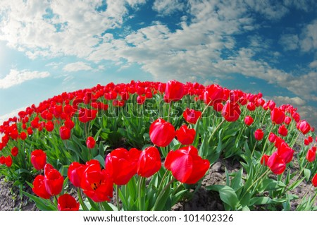 Spring tulips with sky
