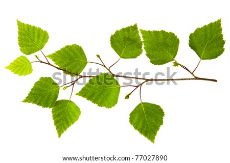 spring twig birch with green leaves on a white background - stock photo