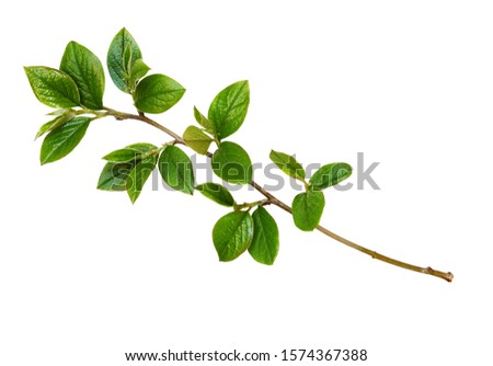 Spring twig with green leaves isolated on white Photo stock ©