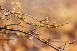 Spring twigs with budding buds of leaves in a beautiful golden bokeh and spring sun.