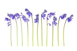 Spring uncultivated bluebell flowers in a line on white background.