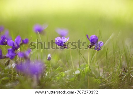 Spring viola flowers. Mild blurred focus.