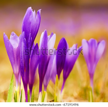 spring violet crocus flower with nice bokeh