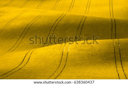 Spring Wavy yellow rapeseed field with stripes and wavy abstract landscape pattern. Corduroy summer rural rape landscape.Yellow moravian undulating fields of crops.Yellow Background texture