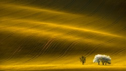 Spring Wavy Yellow Rapeseed Field With White Tree And Wavy Abstract Landscape Pattern.Corduroy Summer Rural Rape Landscape.Yellow Undulating Fields Of Crops.Yellow Background Texture. Spring Landscape