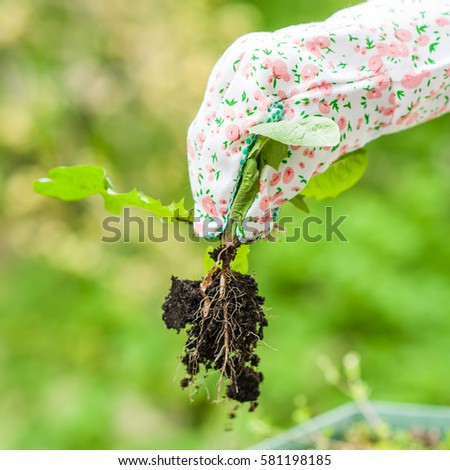 Spring weeding in the garden, the gardener pulling out the weed carefully in colorful garderning gloves #581198185