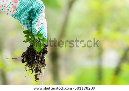 Spring weeding in the garden, the gardener pulling out the weed carefully in colorful garderning gloves