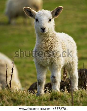 spring welsh lamb