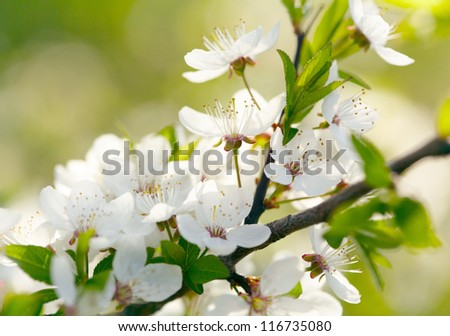 Spring white blossoms