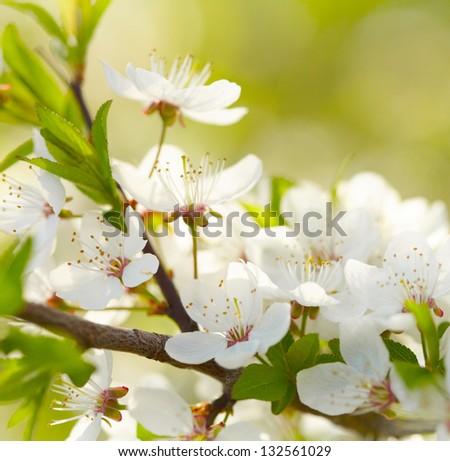 Spring white blossoms