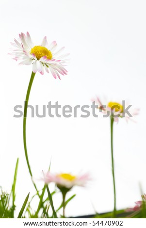 Spring white flowers, marguerites