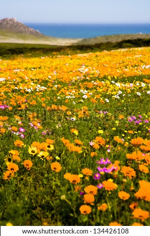 Spring wild flowers on the West Coast near Cape Town, South Africa. These wild flowers form carpets of colour every spring.