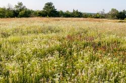Spring wildflower field. Native flowers, prairie reserve. Fort Worth, Texas.