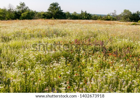 Photo of  Spring wildflower field. Native flowers, prairie reserve. Fort Worth, Texas.