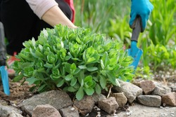 Spring work in the garden, woman hands in gloves with garden tools, in foreground young green bush Sedum telephium, stonecrop