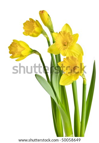 Spring yellow daffodil flowers isolated on white background