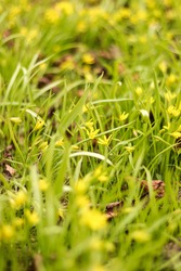 spring yellow flowers and green grass in the city Park, selective focus