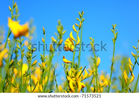 Spring yellow flowers meadow over blue clear sky background