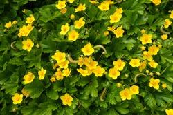Spring yellow small flowers of a Waldsteinia ternata or barren strawberry