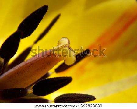 spring yellow tulip  #1362828080